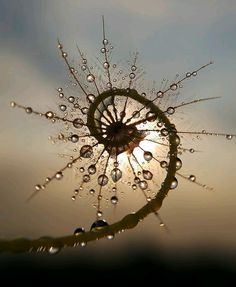 Spiral plant frond covered in dew.
