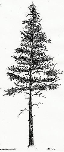 black spruce silhouette - Google Search                                                                                                                                                                                 More