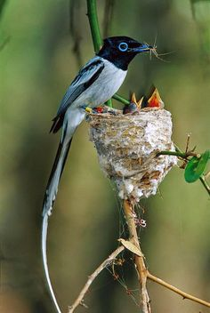 Madagascar Paradise Flycatcher ❤ ℒℴvℯly