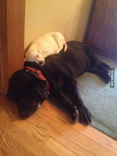 The best kind of bed. Labradors have hearts of gold... so loving!