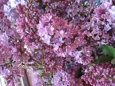 one day, I shall have lilac bushes outside my bedroom window