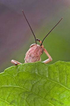 A confused-looking grasshopper peeks out from behind a leaf in Jakarta, Indonesia.  Photo by Lessy Sebastian/Solent News/Splash News