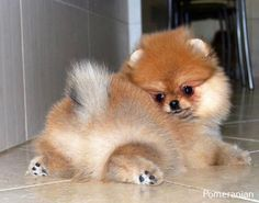 Delightful Comical And Sweet Pomeranian Ideas. Charming Comical And Sweet Pomeranian Ideas. Cute Dogs And Puppies, I Love Dogs, Doggies, Cute Funny Animals, Cute Baby Animals, Cute Pomeranian, Sweet Dogs, Animals Beautiful, Chihuahua