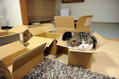 Aujourd'hui chat suis testeur de carton