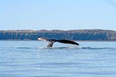 La Península Valdés es una importante reserva natural que es famoso por su geología y fauna única. Puede ver muchos animales como los leones marinos, elefantes marinos y pingüinos. También puede escuchar el sonido de las orcas.