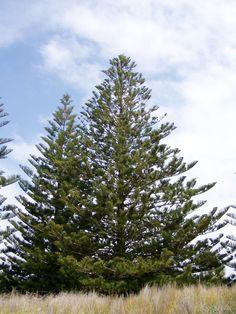 Araucaria Heterophylla (2015)