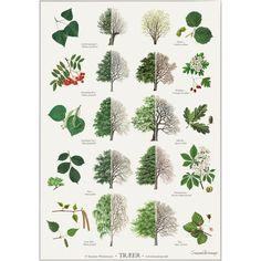 Koustrup & Co. plakat i - træer 90 kr Garden Trees, Trees To Plant, Clematis, Landscape Design, Garden Design, Cactus Drawing, Garden Drawing, Tree Identification, Nature Posters