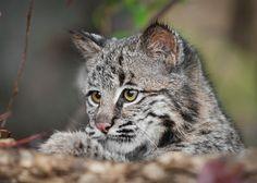 Bobcat Kitten (Lynx rufus) Looks Over Log - captive animal