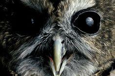 Northern spotted Owl, Joel Sartore