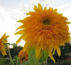 Добиться длительного цветения декоративного подсолнечника можно только регулярным и обильным поливом. Однако следует избегать застоя воды у ствола.