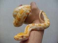 Subadult Ivory Burmese Python   Animals - Creepy, Crawly ...