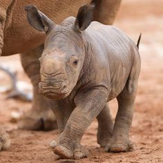 Cute Baby Animals - Baby Rhino