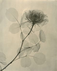 X-Rays of Flowers - Tasker, A Rose 1936