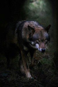 🐺If you Love Wolves, You Must Check The Link In Our Bio 🔥 Exclusive Wolf Related Products on Sale for a Limited Time Only! Tag a Wolf Lover! 📷: Please DM . No copyright infringement intended. All credit to the creators. Wolf Images, Wolf Photos, Wolf Pictures, Beautiful Wolves, Animals Beautiful, Cute Animals, Wolf Wallpaper, Animal Wallpaper, Shadow Wolf