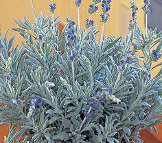 """Lavandula Goodwin Creek Grey - White Flower Farm Quick Facts Common Name: Lavender Hardiness Zone: 1-11 S / 1-11 W Height: 10"""" Fragrance: Yes Deer Resistant: Yes Exposure: Full Sun Blooms In: June-July Ships as: 3"""" Plastic Pot - 25.8 cu. in. Read our Growing Guide"""