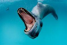 léopard de mer Arctique