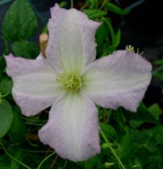 Clematis Little Nell