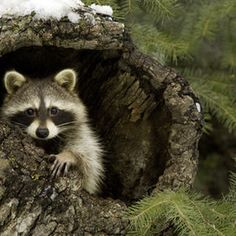 raccoons, little thieves but cute