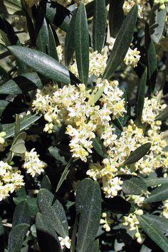 Fleur de Bach d'olivier pour la vitalité et la régénération !