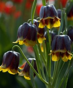 Fritillaria michailovskyi--Circa 1905, this Turkish native has up to five pendant, bell-shaped dark reddish-purple flowers edged prominently in golden-yellow with grass-like foliage intermittently spaced on its slender stems. This deer- and rodent-resistant naturalizer is native to the western Himalayas and Asia Minor, and prefers rich, well-draining neutral pH soil and a bit of light shade or dappled sunlight.