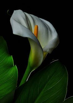 Calla Lilly (Zantedeschia aethiopica). Symbolizes magnificent beauty & maidenly modesty. Photo by Bill Gracey.