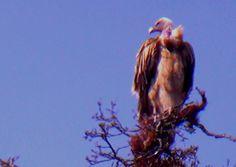 Himalayan Vulture - 1