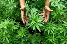 """The future may be """"safe"""" marihuana to help creative thinking"""