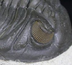 """fossilera: """" Stunning eye facet preservation on this 380 million year old Hollardops trilobite fossil. Source: https://www.fossilera.com/fossils/detailed-2-2-hollardops-trilobite """""""