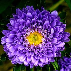 another aster   Flowers of the World   Pinterest   September flower     Aster flower  A classic filler flower  asters are perfect for fall  weddings  These blossoms are available in white  yellow  pink and purple