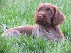 Maggie. A wirehaired pointing Griffon.  From Pheasants Forever.