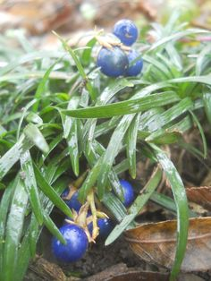 Ophiopogon japonicus- It's time for those fantastic berries that almost look like lapis lazuli or blue glass beads. Tiny little plants that are stubbornly slow to spread in our heavy soil, but such a beauty!