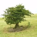Tree Lore in Ireland. Note the link at the bottom to another story on Fairy Trees.