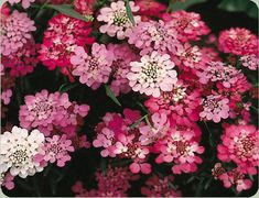 Candytuft perennial-very drought resistant Plant