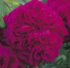 William Shakespeare will bring a delightful old rose fragrance to your rose garden, one especially enjoyed on a still summer morning.  Enjoy its large double flowers with a rich, velvety crimson color that gradually changes to an equally rich purple.  The growth is neat and upright