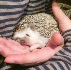 This is adorable I dream the day of getting a hedgehog then I will dream of this Baby Animals Super Cute, Pretty Animals, Cute Little Animals, Cute Funny Animals, Animals Beautiful, Cute Cats, Baby Animals Pictures, Cute Animal Pictures, Animals And Pets