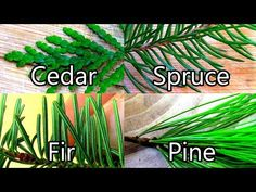 Wild Edibles- Pine / Spruce / Cedar / Fir- Evergreen Teas - YouTube