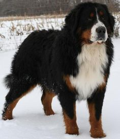 can't wait till I own one of these beautiful dogs!