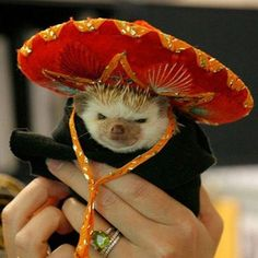 PetsLady's Pick: The Bonus Cinco De Mayo Hedgehog Of The Day  ... see more at PetsLady.com ... The FUN site for Animal Lovers