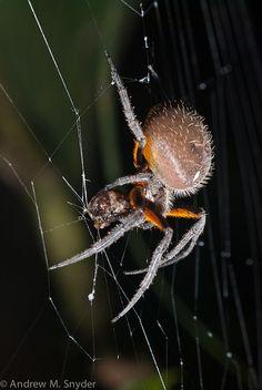 Tropical Orb Weaver by asnyder5, via Flickr