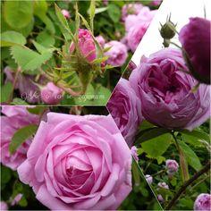 Vše o co se zajímám: Květena a popis Rose, Flowers, Plants, Pink, Plant, Roses, Royal Icing Flowers, Flower, Florals