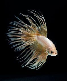 peixe de combate Siamese colorido.  (Foto por Visarute Angkatavanich / Serviços)