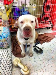 **COURTESY POST - HUGO** is an adoptable Dogo Argentino Dog in Gilbert, AZ. ***COURTESY POST FOR A FELLOW PHOENIX AREA RESCUE*** My name is Hugo! My friends at Adorable Dog Rescue met me at a dog adop...