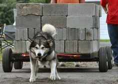 buck pulling competition - Google Search Malamute Puppies, Alaskan Malamute, Call Of The Wild, Dry Dog Food, Pitbull Terrier, Big Dogs, Arctic, A Team, Chihuahua