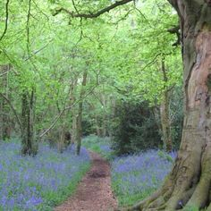 Bluebells in bloom...Hampshire England.