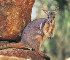 Wallaby su una roccia
