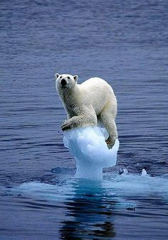 """Preserving the last great Wilderness on Earth Antarctica ♥    Today's picture of the day shows a polar bear with VERY little ice left to stand on - -   Carla Lombardo Ehrlich/WWF.(World Wildlife Fund)    ''The greatest threat to this planet is the belief that someone else will save it"""" -Robert Swan, O.B.E.     ARCTIC ICE is rapidly disappearing and the region may have its first completely ICE-FREE summer by 2040 or earlier !!"""