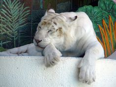 A tiger with almost no stripes at The Mirage in Las Vegas.   Whitetigermirage - White tiger - Wikipedia, the free encyclopedia