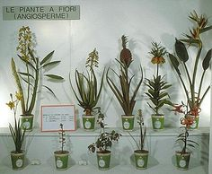 Wax Botanical Models - Some of 184 plants in wax at the Museum of Natural History, Florence, Itlay. Circa 18th - 19th Century.  Made at the waxworks of the Imperial & Royal Museum of Physics and Natural History.