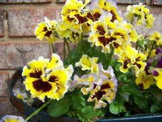 "Amazon.com : (APAN)~""PETTICOAT MIX"" PANSY~Seeds!!!!!~~~~~~Ruffled Beauties! : Pansy Plants : Patio, Lawn & Garden"