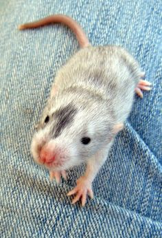 Cute Pet Rat   They make awesome pets, soooo smart and very loving. Much better suited for children  too !